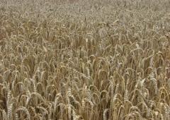 Plonowanie zbóż na polach demonstracyjnych w Lędzinach – pszenica ozima Patras