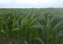 Technologia uprawy kukurydzy