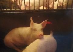 Bioasekuracja w chowie świń