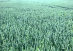 Wyniki plonowania zbóż w 2016 roku na polach demonstracyjnych w Lędzinach – pszenica ozima PATRAS