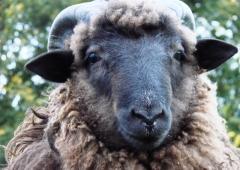 Owca Plus - Hodowcy owiec mogą składać oferty do 29 kwietnia 2021