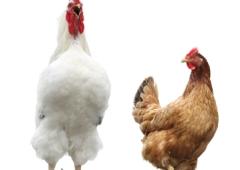 UWAGA ! ! PTASIA GRYPA WIRUS HPAI - ATAKUJE Dwa ogniska ptasiej grypy na Śląsku Cieszyńskim.