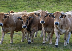 Stabilizacja cen Informacja dla hodowców bydła -rynek opasów w miesiącu maju
