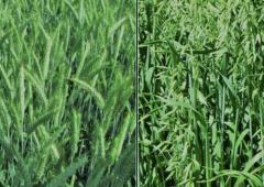 """""""Plonowanie zbóż na polach demonstracyjnych w Lędzinach"""""""